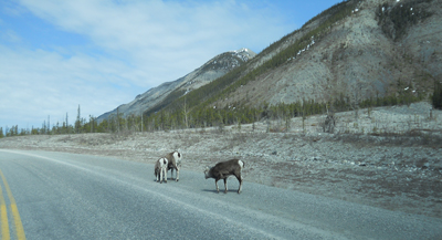 11-Goats